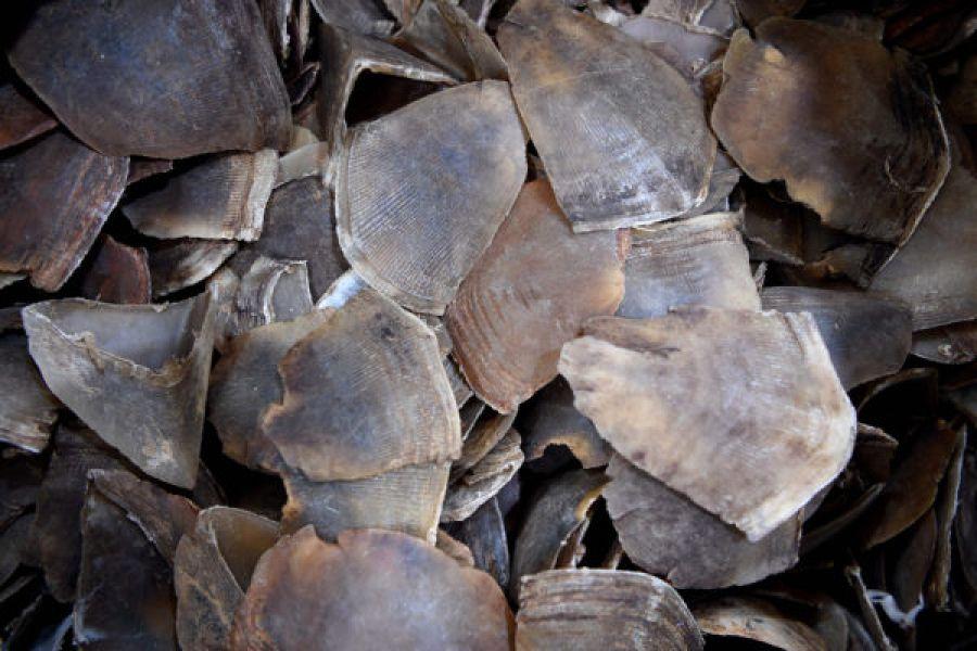Conservation: saisie spectaculaire de 300 kilos d'écailles de pangolin à Kinshasa