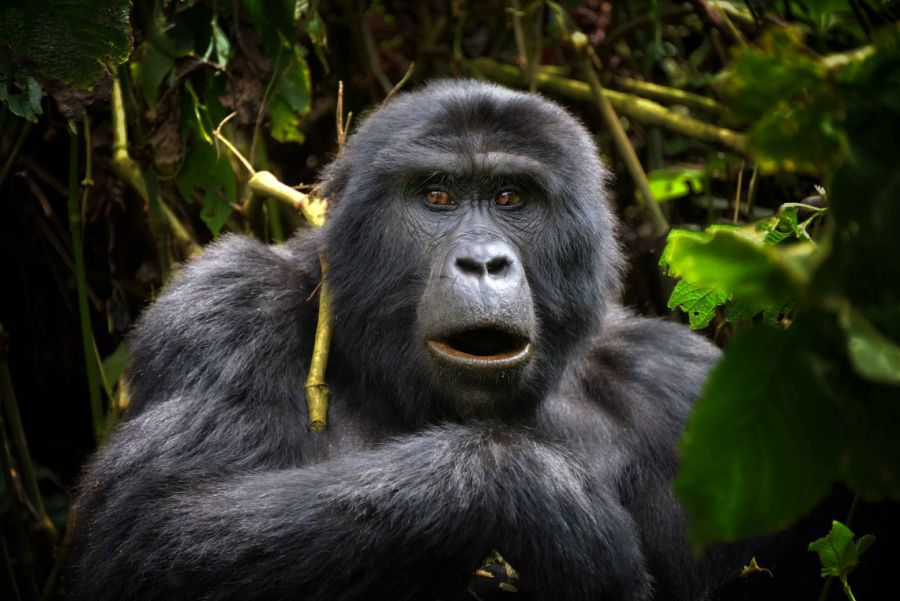 Génétique du COVID-19 et survie des grands singes sauvages