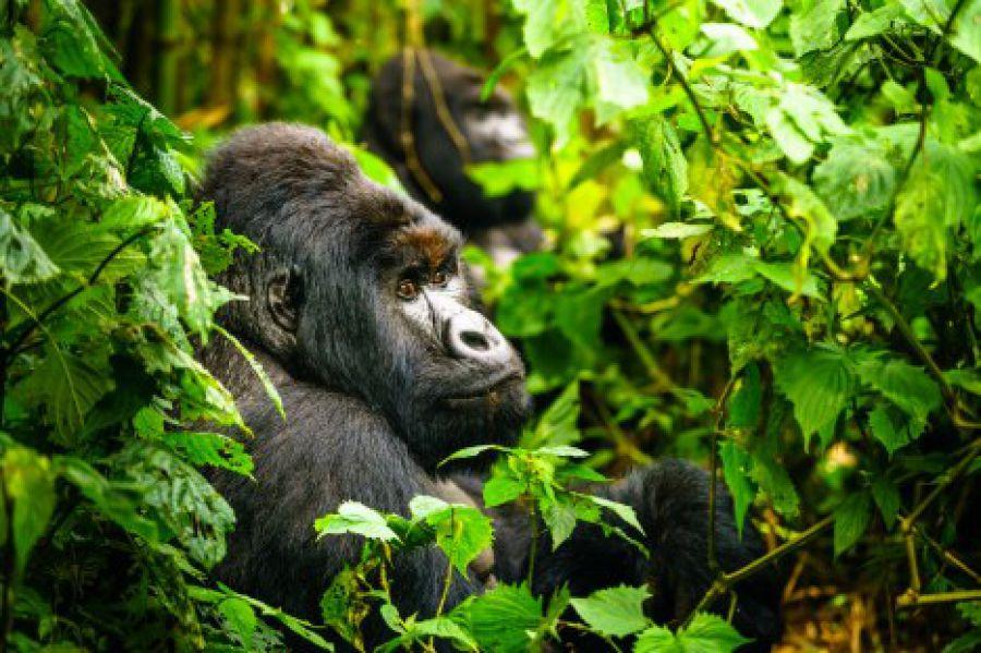 Virunga : Une naissance de plus chez les gorilles de montagne