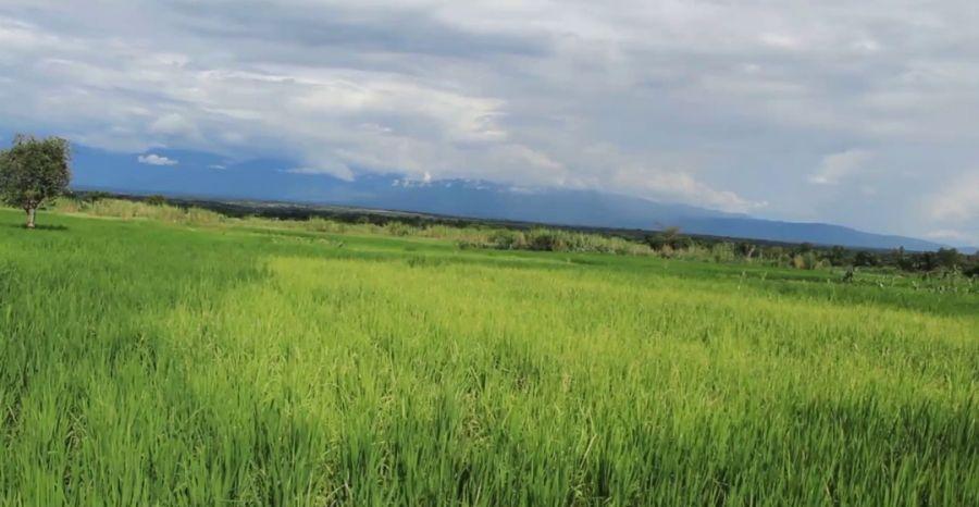 Le Striga, l'autre menace des céréales à Béni