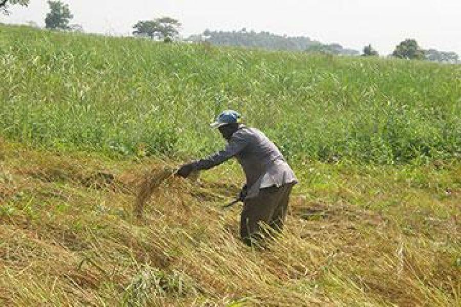 Beni : Les riziculteurs confrontés à la sècheresse