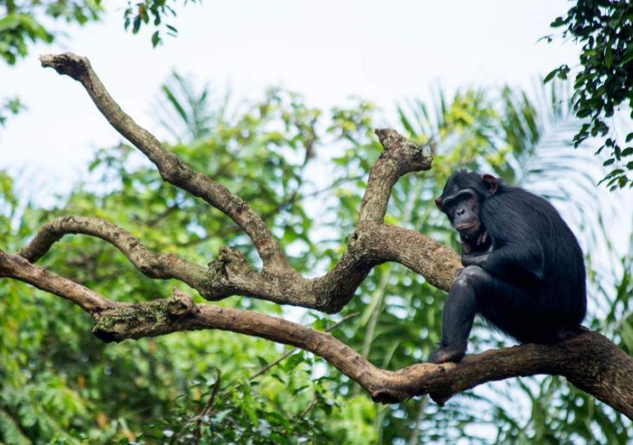 Journée des chimpanzés: L'action de l'homme menace l'habitat naturel des grands singes à Lubero