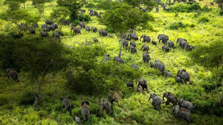 Rutshuru : les éléphants désignés coupables de dévaster des cultures à Nyamilima
