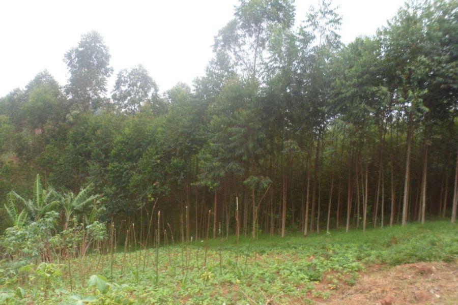 Lubero : Eucalyptus, une culture qui rend de champs moins fertiles