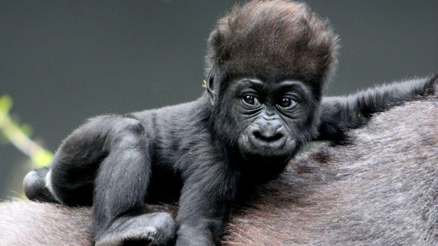 Faune : Naissance d'un gorille dans le Parc National des Virunga