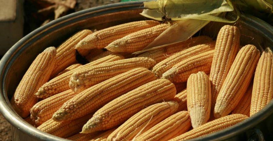 Les changements climatiques mettent en péril la production de maïs