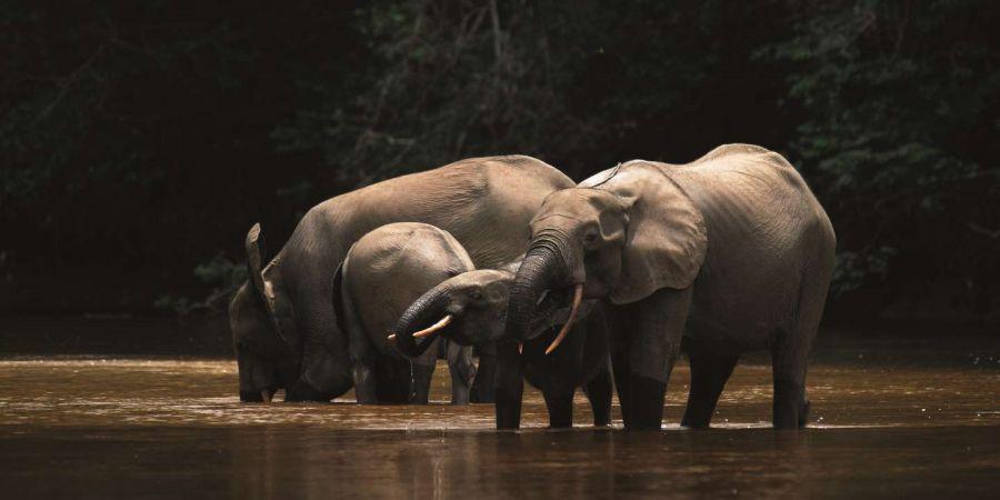 Les éléphants de forêt ont faim à cause du changement climatique