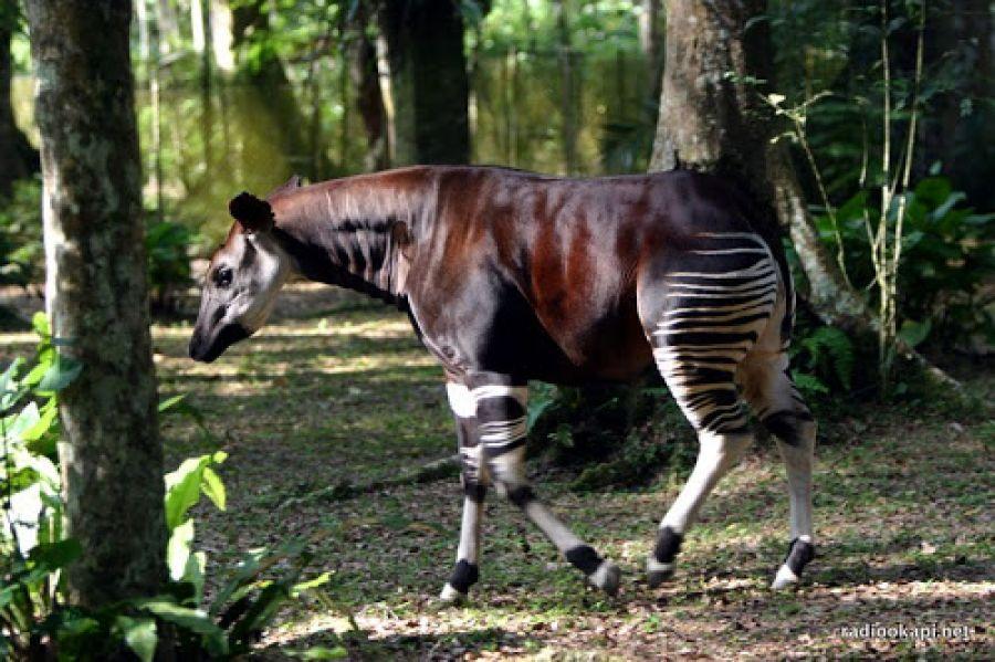 """L'animal """"Okapi"""" en voie de disparition dans la province de l'Ituri, alerte le ministre de l'environnement"""