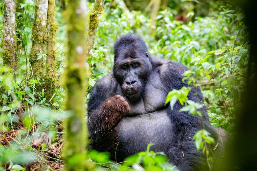 RDC : Le parc de Kahuzi Biega menacé de déforestation et traque des espèces rares