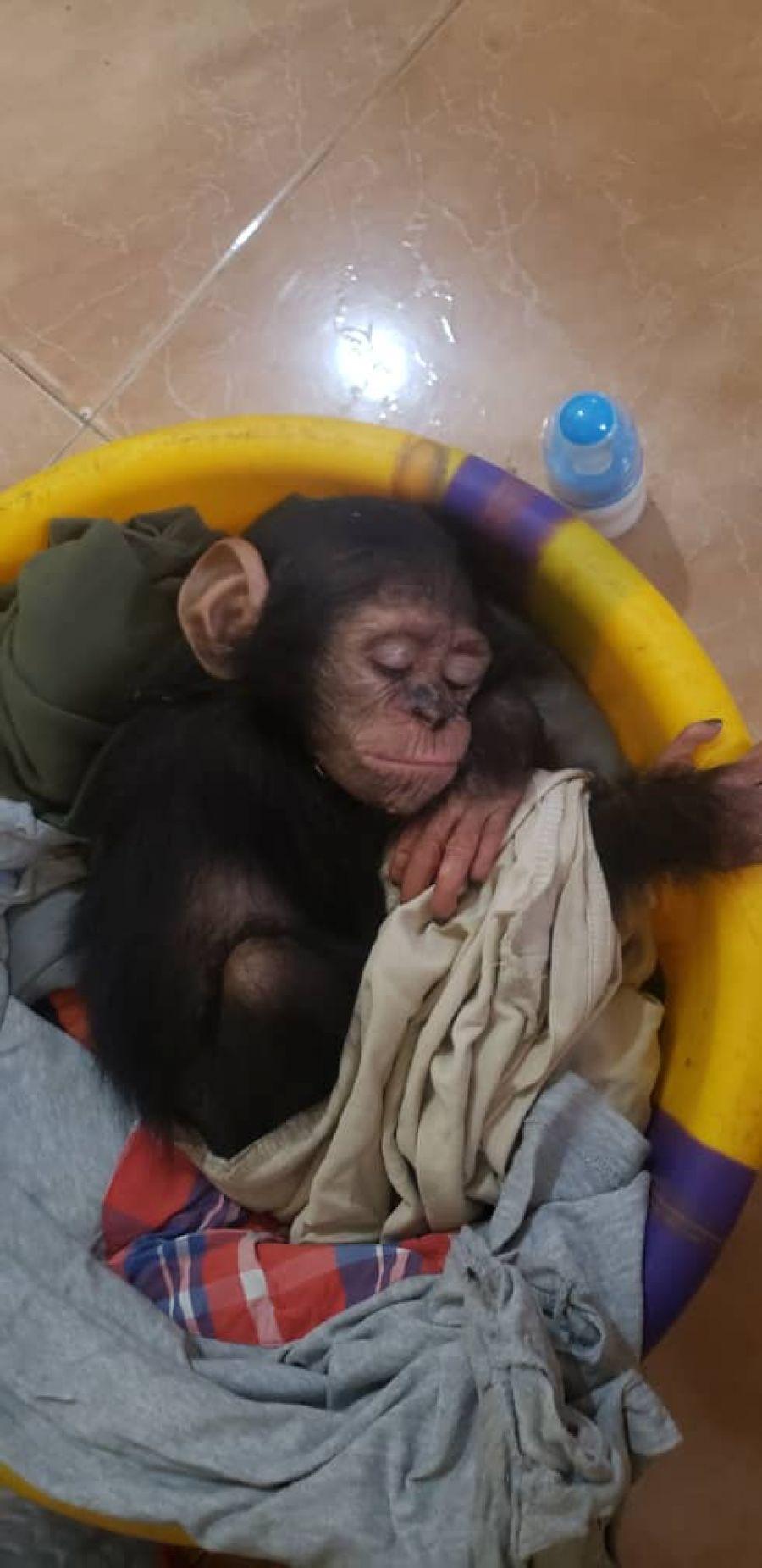 Trafic d'animaux: Un bébé chimpanzé sauvé des traficants à Kinshasa