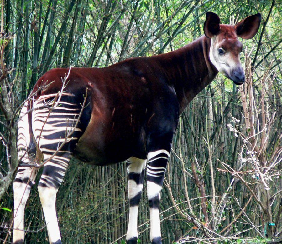 Biodiversité : La Réserve de faune à okapis cible d'attaque des inciviques