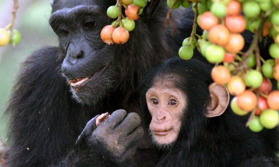 Criminalité faunique : Une cargaison de 32 singes congolais à queue interceptée au Zimbabwe