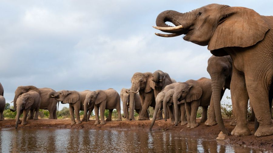 Des éléphants décimés par une toxine mortelle au Botswana